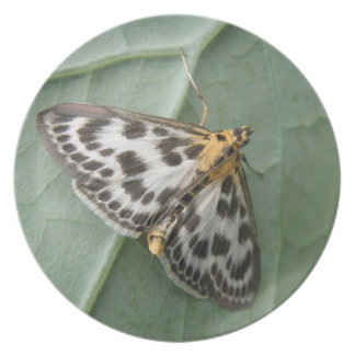 Small Magpie Moth Plate