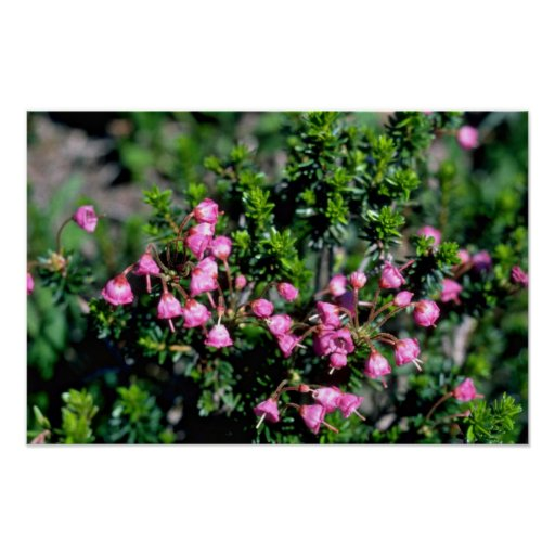 Small Pink Bell-Shaped Flowers flowers Posters