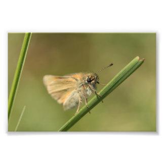 Small Skipper Butterfly Photo Print