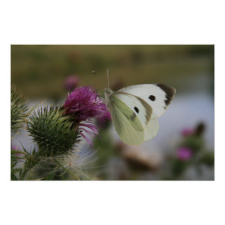 Small White Buttrerfly on Spear Thistle Poster
