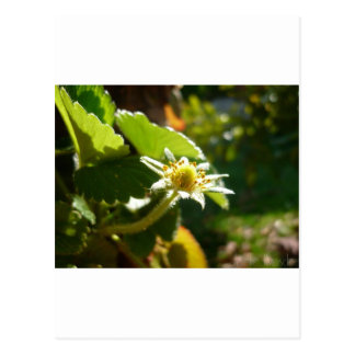 Small White Flower Postcard