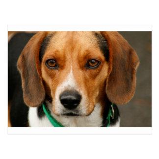 Smart Beautiful Beagle Hunting Dog Postcard