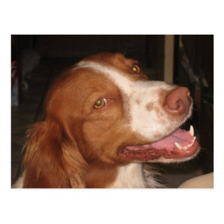 Smiling Brittany Spaniel Postcard