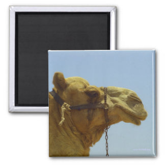 Smiling camel in profile magnet