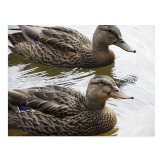 Smiling duck postcard
