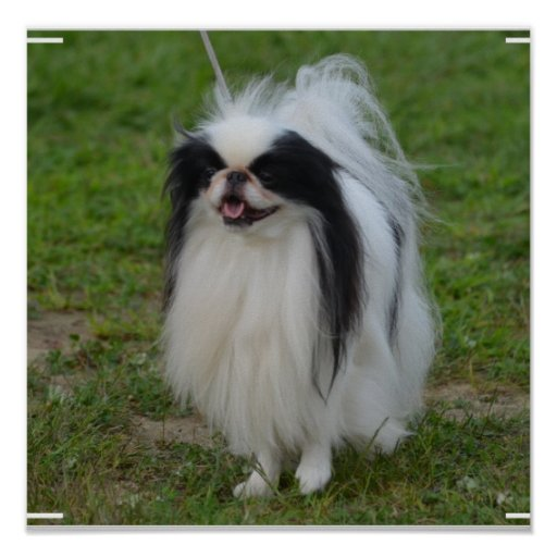 Smiling Japanese Chin Poster