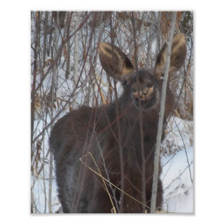 Smiling Moose Photographic Print