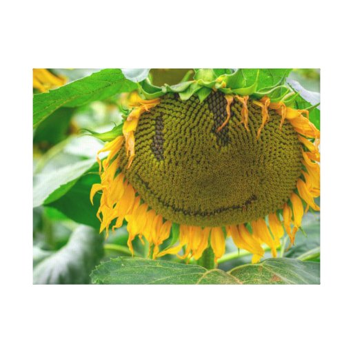 Smiling Sunflower Stretched Canvas Print