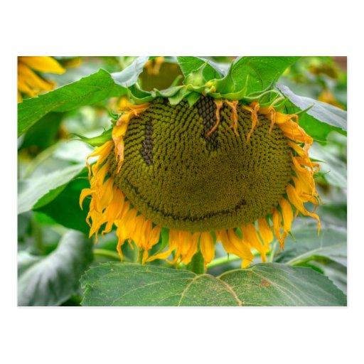 Smiling Sunflower Postcards