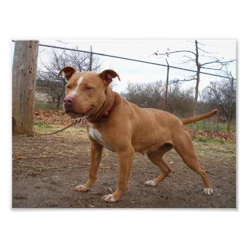 Smiling Tan and White Pit Bull Standing Outside Photographic Print