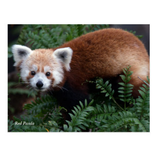 Smithsonian | Red Panda Postcard