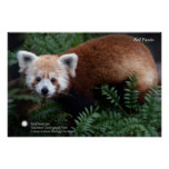 Smithsonian | Red Panda Poster