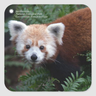 Smithsonian | Red Panda Square Sticker