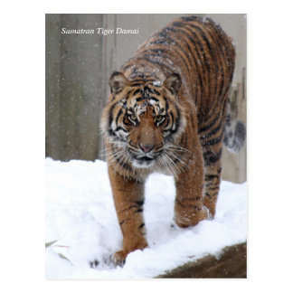 Smithsonian | Sumatran Tiger Damai Postcard