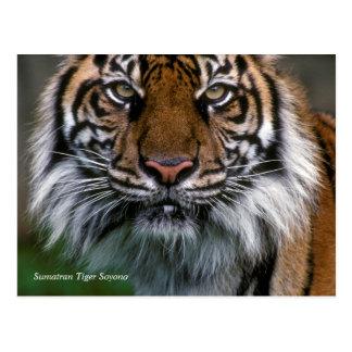 Smithsonian | Sumatran Tiger Soyono Postcard