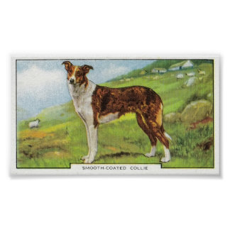 Smooth-Coated Collie Poster
