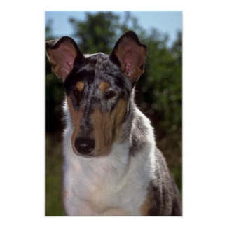 Smooth Collie Posters