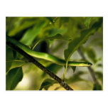 Smooth Green Snake Post Card