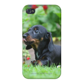Smooth-haired Miniature Dachshund 1 Cases For iPhone 4