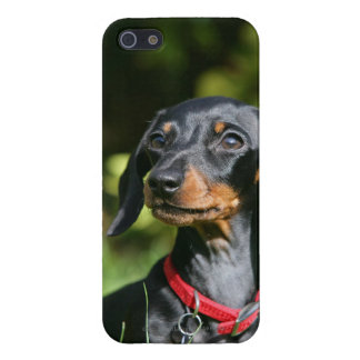 Smooth-haired Miniature Dachshund 3 iPhone 5 Covers