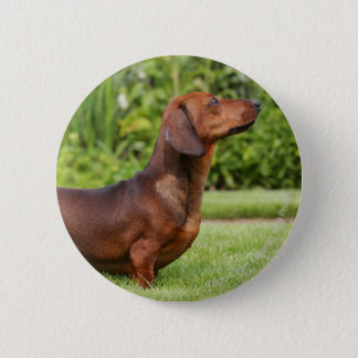Smooth-haired Miniature Dachshund 6 Cm Round Badge