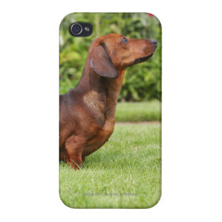Smooth-haired Miniature Dachshund iPhone 4/4S Covers
