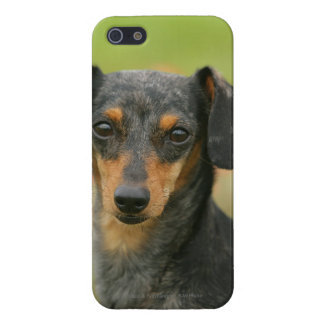 Smooth-haired Miniature Dachshund Puppy Looking at iPhone 5 Covers