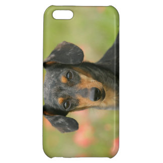 Smooth-haired Miniature Dachshund Puppy Looking at iPhone 5C Covers