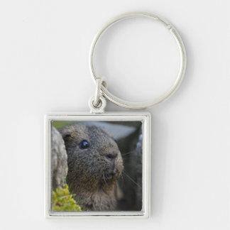 Smooth, Shorthair, Lemon Agouti Guinea Pig in Rock Key Chain
