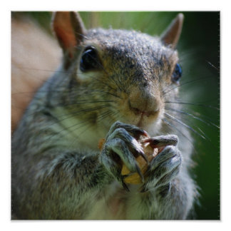 Snacking Squirrel Poster
