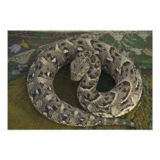 Snake Charmer's African Puff-adder Bitis Photo