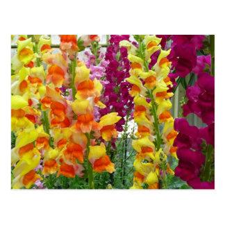 Snapdragons Colorful Floral Postcard