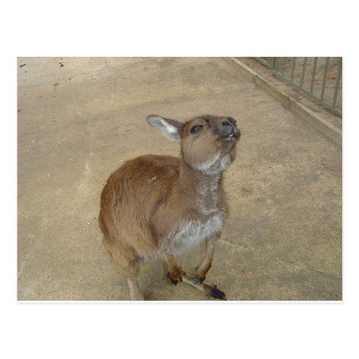 Snarky Wallaby Postcard