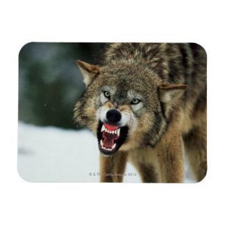 Snarling gray wolf rectangular magnets