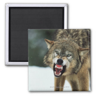 Snarling gray wolf square magnet