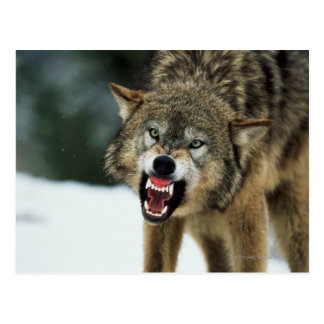Snarling gray wolf postcard