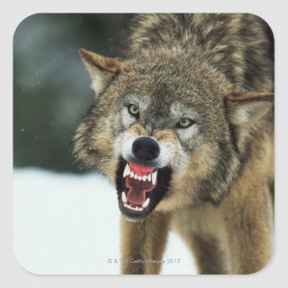 Snarling gray wolf square sticker