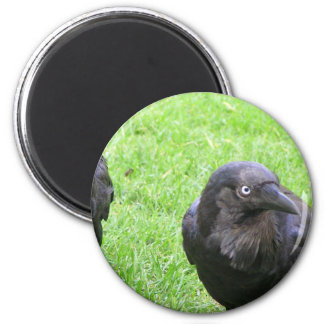 Sneaky Crows Magnet