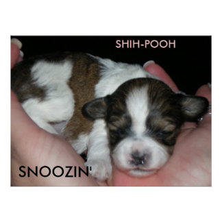 SNOOZIN', 2 WEEK SHIH-POO, S... POSTER