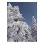 Snow Blanketed Pine Trees Post Card
