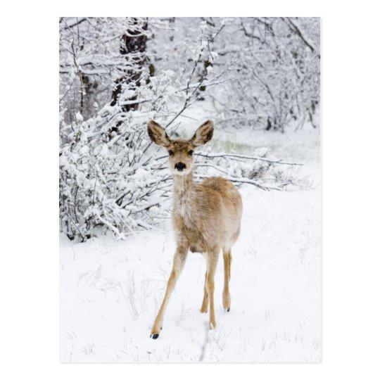 Snow Deer Postcard