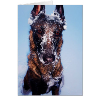 Snow-dipped Malinois Greeting Card