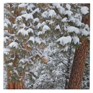 Snow fills the boughs of ponderosa pine trees large square tile