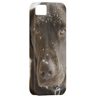 Snow Flake Covered Chocolate Lab Photo Close Up iPhone 5 Case
