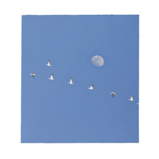 Snow geese and Canadian geese take flight at Notepad