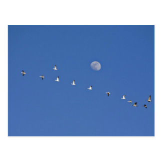 Snow geese and Canadian geese take flight at Postcard