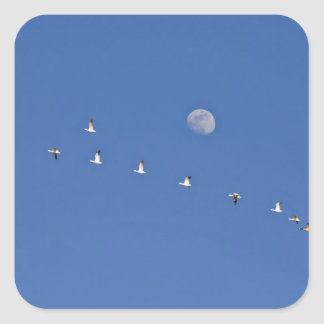Snow geese and Canadian geese take flight at Square Sticker