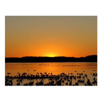 Snow Geese at Sunset Postcard
