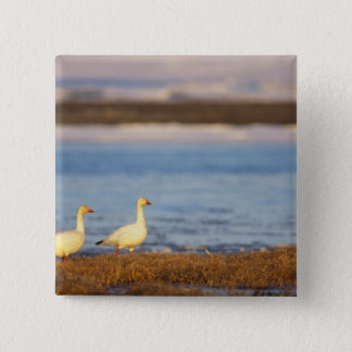 snow geese, Chen caerulescens, pair on a 15 Cm Square Badge