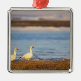 snow geese, Chen caerulescens, pair on a Christmas Ornament